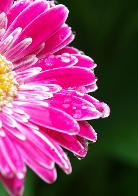 自宅庭、雨上がりのガーベラ(4)