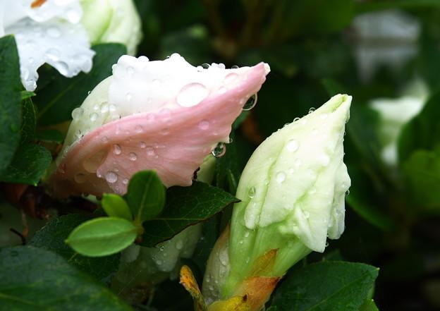 自宅庭、雨上がりのツツジ(3)