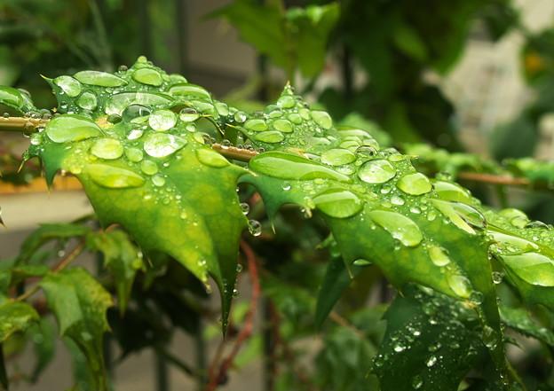 自宅庭、雨上がりのヒイラギナンテン(1)