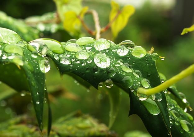 自宅庭、雨上がりのヒイラギナンテン(2)