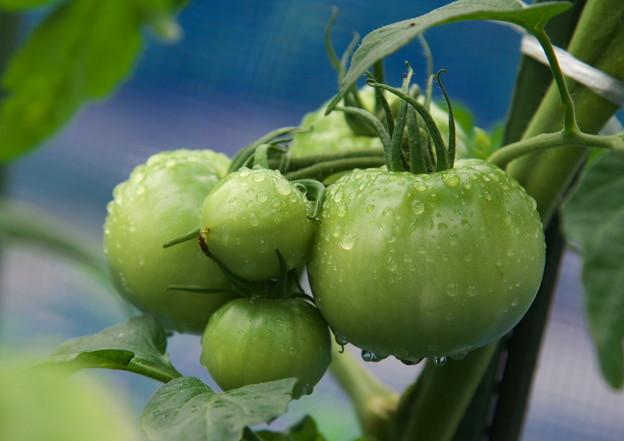 自宅庭・ミニ菜園の青いトマト(1)