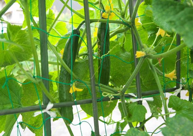 自宅ミニ菜園のキュウリ(2)