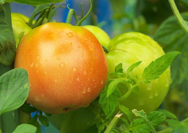 自宅ミニ菜園のトマト、桃太郎(1)