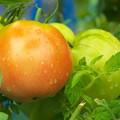 Photos: 自宅ミニ菜園のトマト、桃太郎(1)