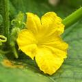 自宅ミニ菜園、キュウリの花
