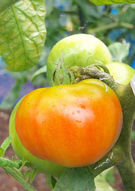 自宅ミニ菜園のトマト・桃太郎(3)