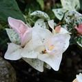 自宅庭のハツユキカズラ(2)