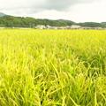 Photos: 豊作
