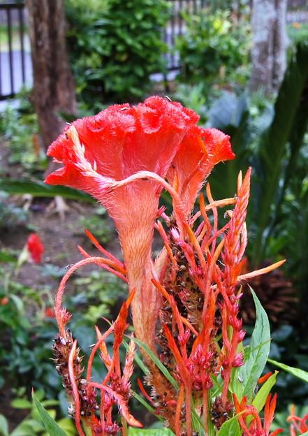 Photos: 自宅庭、雨上がりのケイトウ(4)