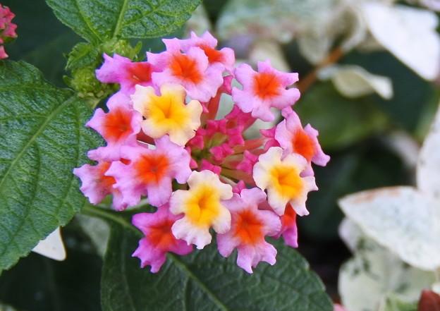 自宅庭、鉢植えのランタナ(3)