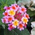 Photos: 自宅庭、鉢植えのランタナ(3)