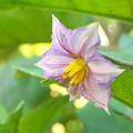 Photos: 隣家庭のミニ菜園、ナスビの花(1)