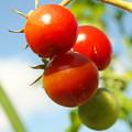 隣家庭、ミニ菜園のミニトマト(1)