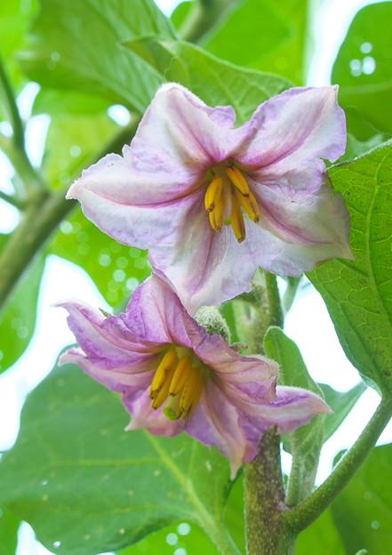 隣家庭、ナスビの花(2)