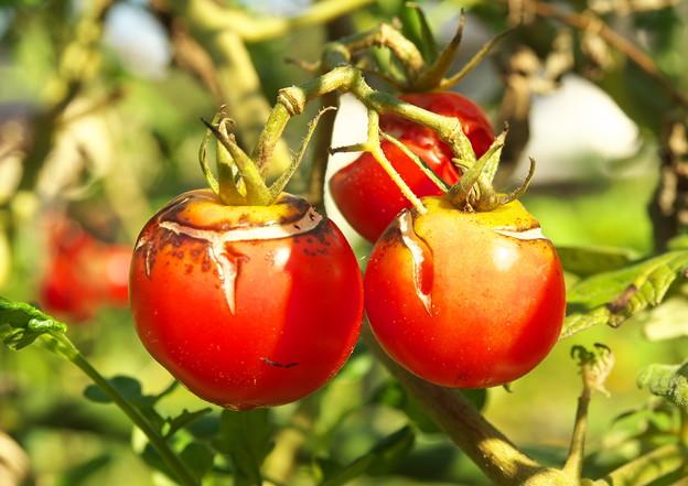 隣家庭のミニトマト(2)