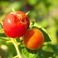 隣家庭、ミニ菜園のミニトマト(4)