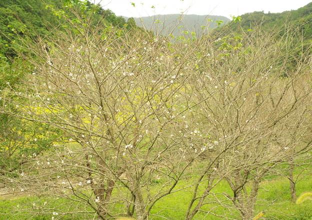 五箇地区・小路、季節外れの桜(1)