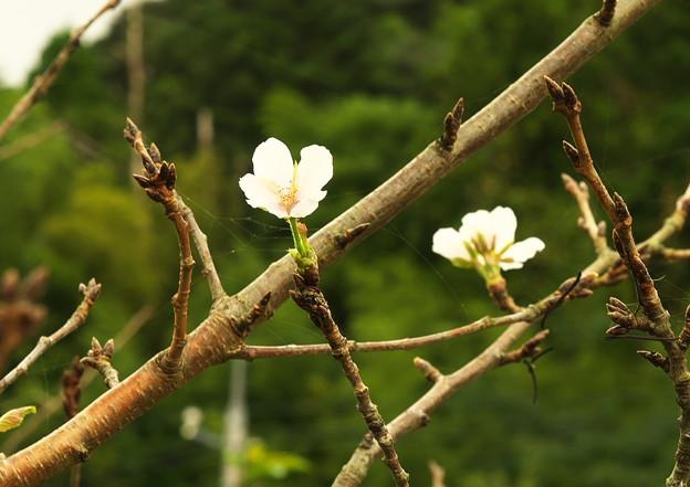 五箇地区・小路、季節外れの桜(4)