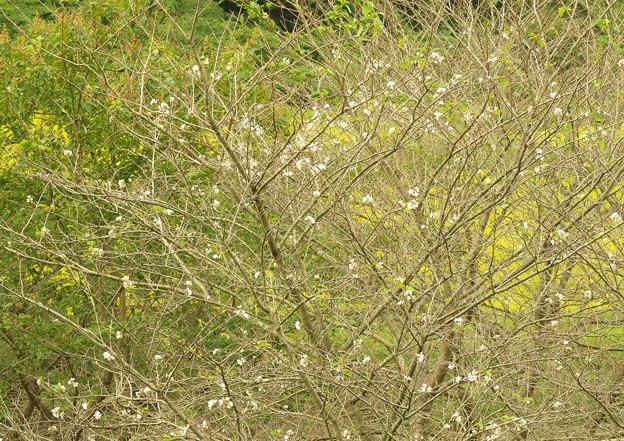 五箇地区・小路、季節外れの桜(3)