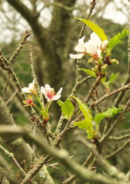 五箇地区・小路、季節外れの桜(5)