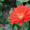 Photos: 自宅庭のガーベラ(11)