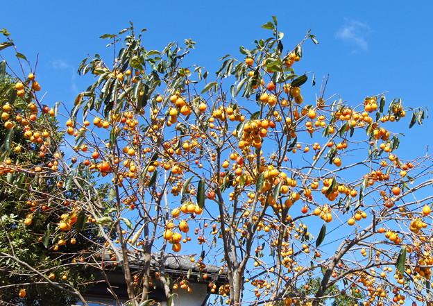 喫茶カレン近くの柿の木(1)