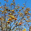 喫茶カレン近くの柿の木(2)