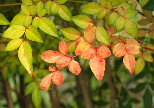 自宅庭のナンテン、紅葉の始まり