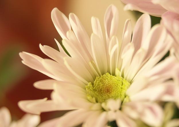 自宅玄関上がり端・生け花のキク