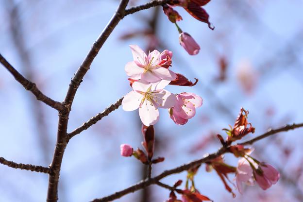5月1日の桜4