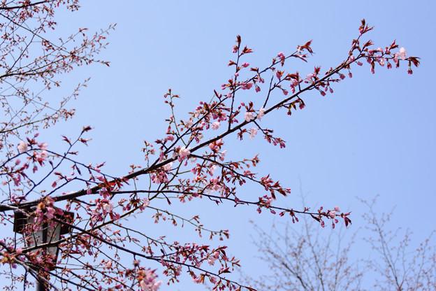 5月1日の桜5