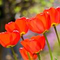写真: 庭のチューリップ20180512_8