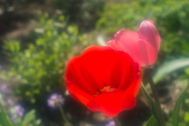 写真: 庭のチューリップ20180512_10
