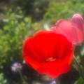 庭のチューリップ20180512_10
