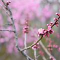 写真: 平岡公園の梅 20180504-9