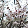 写真: 平岡公園の梅 20180504-18