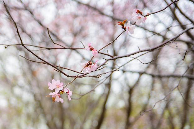 緑ヶ丘公園の桜 20180507-2