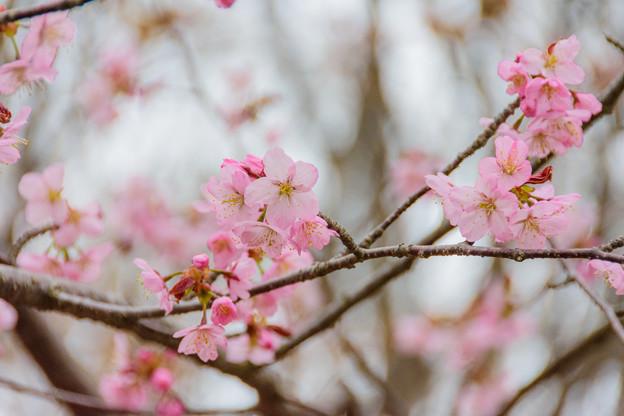 緑ヶ丘公園の桜 20180507-5