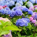 写真: 紫陽花 4