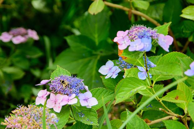 紫陽花 5