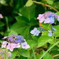 写真: 紫陽花 5