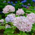 写真: 紫陽花 7