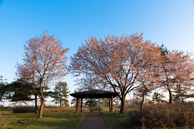 緑ヶ丘公園の桜 20190504_3