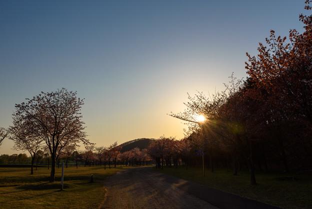 緑ヶ丘公園の桜 20190504_5