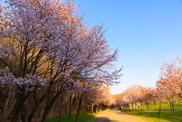 緑ヶ丘公園の桜 20190504_6