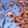 緑ヶ丘公園の桜 20190504_7