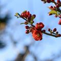ボケ(木瓜)の花