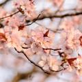 緑ヶ丘公園の桜 20200512_1