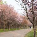 緑ヶ丘公園の桜 20200512_2