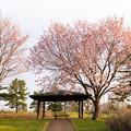 緑ヶ丘公園の桜 20200512_3